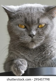 Scottish purebred gray cat portrait closeup