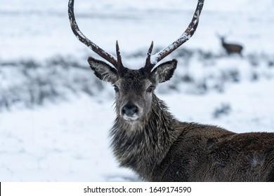 Scottish red deer (Cervus elaphus) in winter snow in Scotland - selective focus