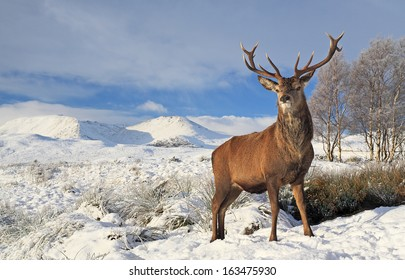 A Scottish Red Deer Stag standing proudly on a snow covered Rannoch Moor winter landscape, with the Blackmount mountain range in the distance