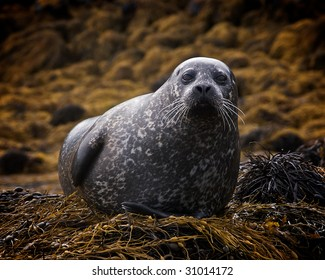 Scottish Seal