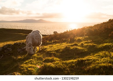 Scottish sheep eating fresh green grass during sunset at the coastline in autumn with sun in the back and cloudy sky (Isle of Skye, Scotland, Europe)