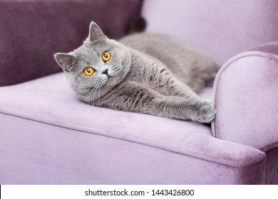 Scottish Shorthair cat lying on the couch