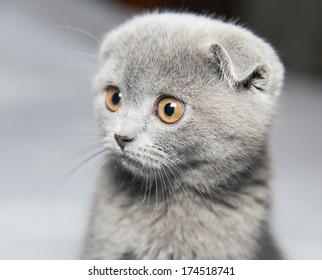Scottish Shorthair cat on a gray background