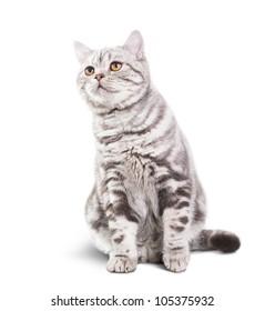 Scottish Shorthair cat sitting on white background