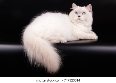 Scottish Straight cat