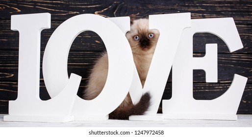 Scottish straight cat cream color. Making a postcard for a lovers day. Scottish purebred kitten during a professional shooting. The pussy hid behind the letters