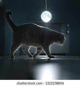 Scottish straight cat at night