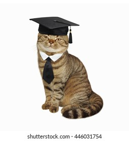 Scottish Straight cat in the square academic cap and tie on white background