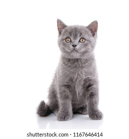 Scottish straight cute kitten isolated on a white background. Kitten concept postcard. Valentine's day.