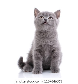 Scottish straight cute kitten. A playful, fluffy cat looks up. isolated on a white background. Kitten with great interest looks upwards.