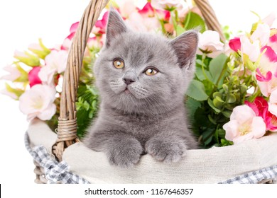 Scottish straight cute kitten. Purebred cat who pose for the camera. Cat in a basket with flowers. Funny, breed kitten looks to the left, isolated on a white background.