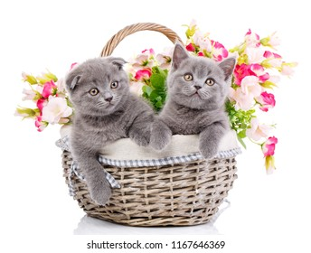 Scottish straight and scottish fold cute kittens in basket. Kittens concept postcard. Two kittens in a basket with flowers. Purebred cats who pose for the camera