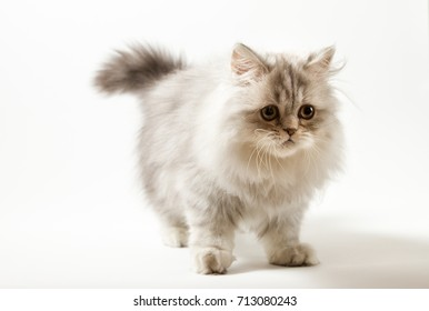 Scottish Straight kitten bi-color silver spotted tabby staying four legs against a white background