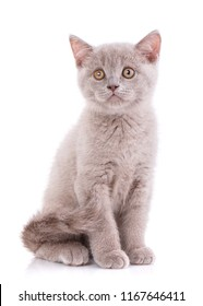 Scottish straight kitten. Cat of cinnamon color. Purebred cat who pose for the camera. Kitten concept postcard. Valentine's day. purebred cat. isolated on a white background