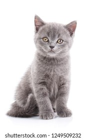 Scottish straight kitten. The cat looks forward. Playful kitten explores new territory. Isolated on a white background.