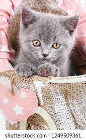 Scottish straight kitten. The cat looks at the photographer. Gray cat in a decorative cradle. A kitten put a paws on a stroller. A cat with furry mustache. Cats with decorations.