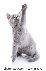 Scottish straight kitten. Cat standing on hind paws and lifts up the front paw. Gray kitten on photo studio. Isolated on a white background. Playful kitten explores new territory