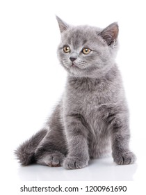 Scottish straight kitten. Fluffy cat looks to the left. A cat with furry mustache is isolated on a white background