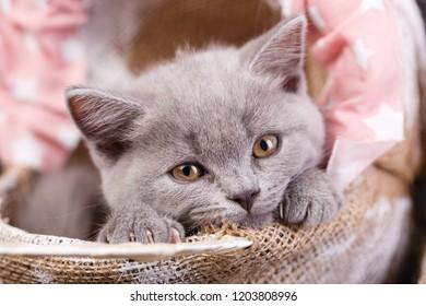 Scottish straight kitten. Fluffy gray kitten with decorations