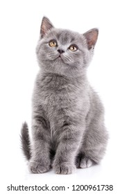 Scottish straight kitten. A funny, fluffy kitten listens attentively. Purebred kitten at the photo studio. Isolated on a white background.
