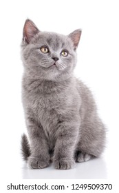Scottish straight kitten. Funny furry kitten carefully watching. The cat looks right. A cat with furry mustache is isolated on a white background