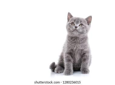Scottish straight kitten. Funny gray kitten looks upwards. Playful kitten explores new territory. Isolated on a white background.