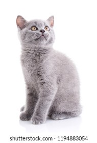 Scottish straight kitten. Gray cat sits sideways and looking up. Isolated on a white background. Purebred kitten at the photo studio