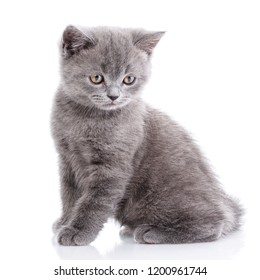 Scottish straight kitten. Gray kitten on photo studio. The cat sits sideways and looks down. Isolated on a white background.