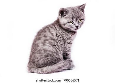 Scottish Straight kitten on white background