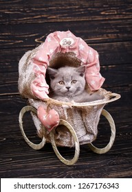 Scottish straight kitten. Photographing a kitten at a photo studio. On a black background