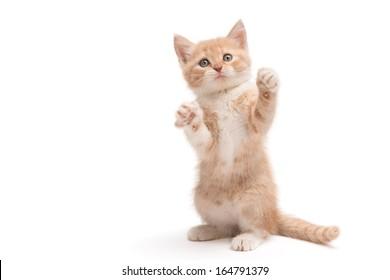 Scottish straight kitten standing playing isolated on white