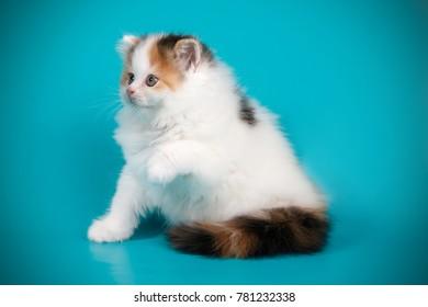 scottish straight longhair tortie kitten