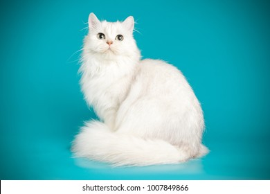 scottish straight longhair white cat