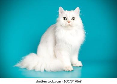 scottish straight longhair white cat