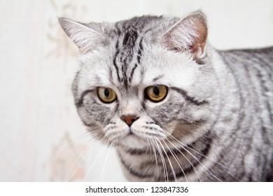 Scottish straight shorthair cat