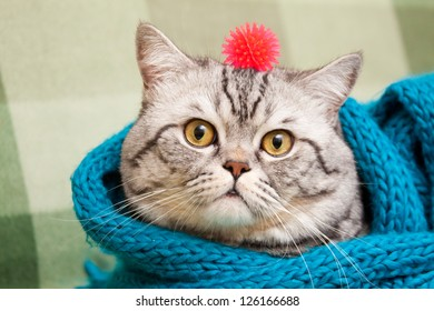 Scottish straight shorthair cat in a blue scarf and with red toy on his head