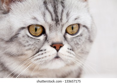 Scottish straight shorthair cat closeup