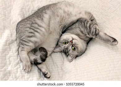 Scottish straight shorthair cat lying on its back on a comfortable warm blanket