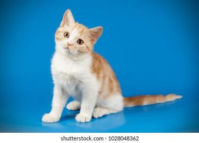 scottish straight shorthair red and white kitten