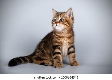 scottish straight tabby kitten