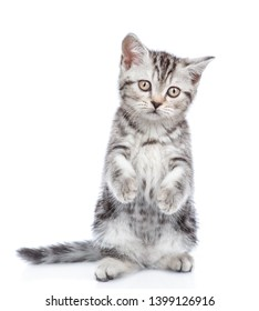 Scottish tabby kitten standing in front view on hind legs. isolated on white background