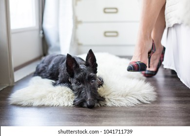 Scottish Terrier dog lays on fluffy rug at home with high fashio