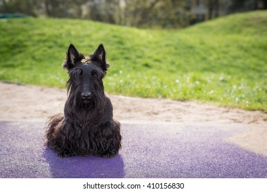Scottish terrier dog sitting and looking at camera outdoors