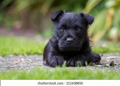 Scottish terrier puppy with grass background