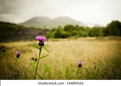 Scottish thistle