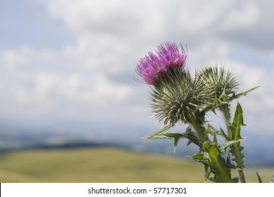 Scottish Thistle against a summer sky.