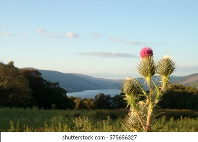 Scottish thistle close up with Loch Tay in background