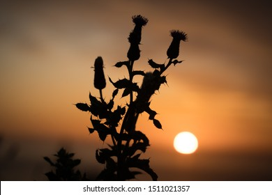 Scottish thistle silhouette sunset orange