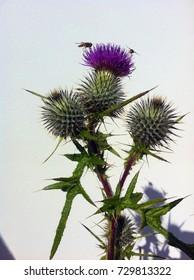 Scottish thistle with white background and insects.