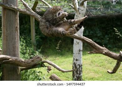 Scottish Wild cat protected species